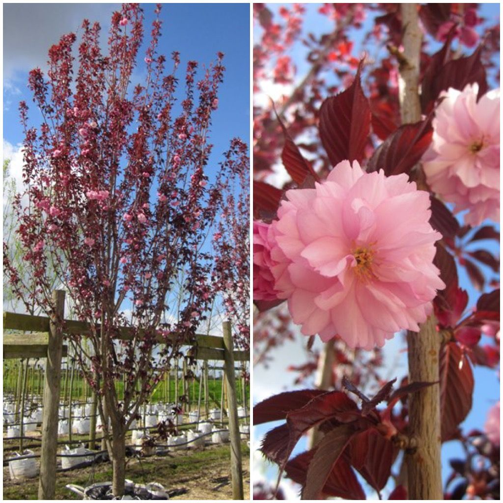 The Frilly Flowers Appear In Spring And Are Double Pink The Flowers Remain On The Tree Until The Dark Wine Coloured Buy Trees Online Buy Trees Tree Specialist