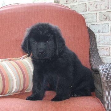 Newfoundland Puppy For Sale In Gap Pa Adn 45064 On Puppyfinder