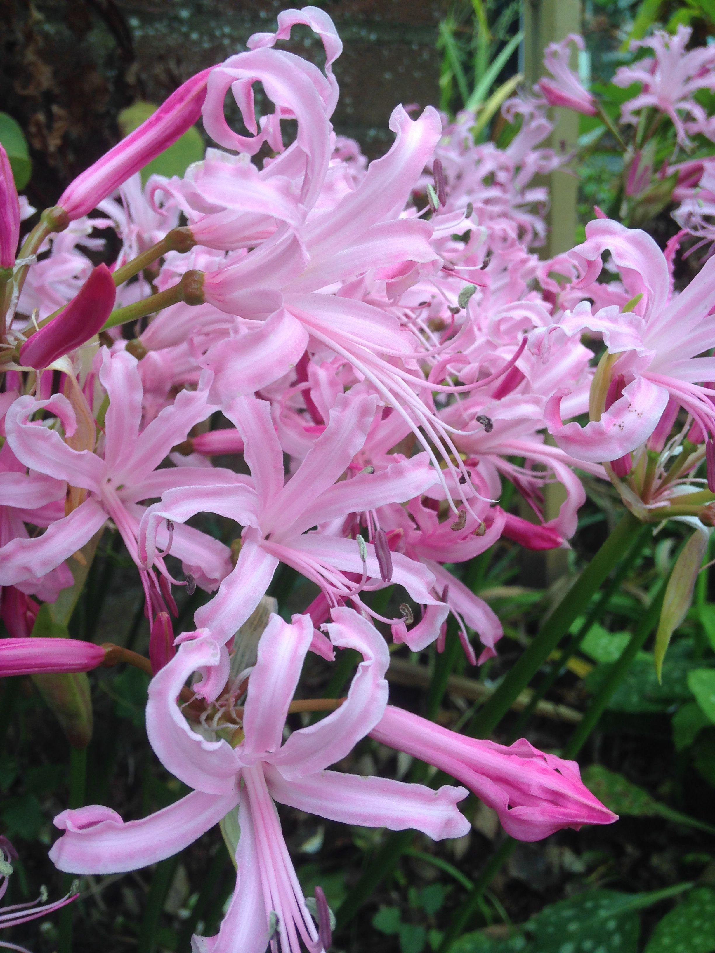 Nerine Bowdenii Flowers In Uk September To November Good Cut Flower