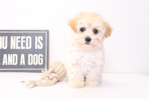 Maltipoo puppy for sale in NAPLES, FL. ADN29385 on