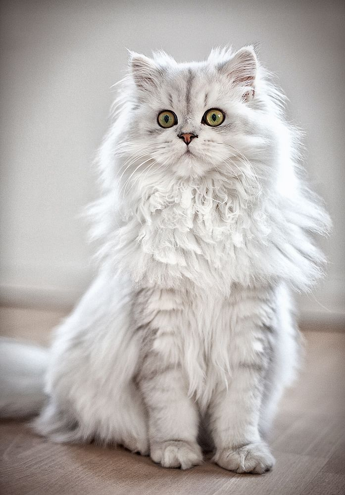 Beautiful Persian Coolcattreehouse Beautiful Cats Persian Cat Funny Cats