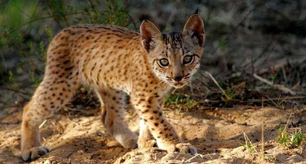 http://conservationcubclub.com/wp-content/uploads/2015/05/iberian-lynx-fauna-Flora-International.jpg?utm_source=The+Tiniest+Tiger+List&utm_campaign=6d6d9e0823-RSS_EMAIL_CAMPAIGN&utm_medium=email&utm_term=0_c69af32c24-6d6d9e0823-412152761&ct=t(RSS_EMAIL_CAMPAIGN)&mc_cid=6d6d9e0823&mc_eid=5953d38340