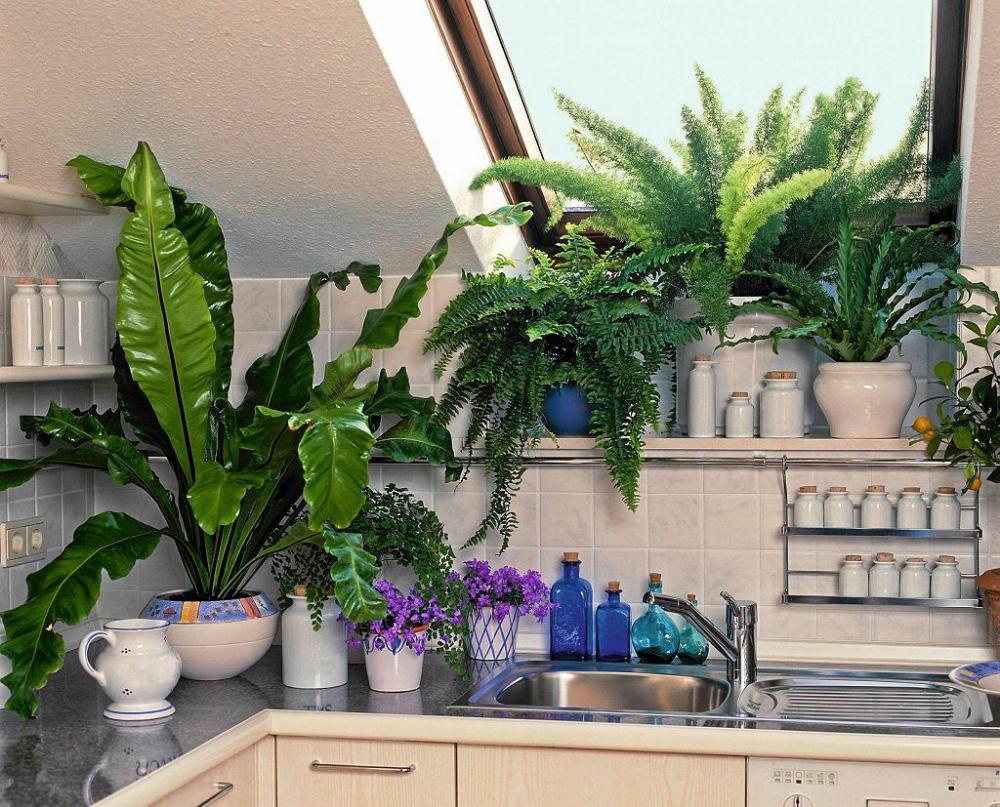 W Ciemnej Kuchni Sprawdza Sie Cieniolubne Paprocie Nefrolepisy I Zanokcice Kolorowym Akcentem Sa Tu Kwiaty Dzwonkow Plants