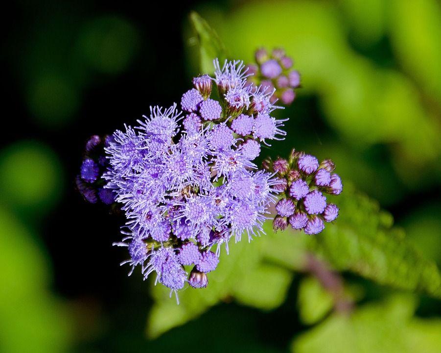 Ageratum Types Of Flowers Plants Plants That Like Sun