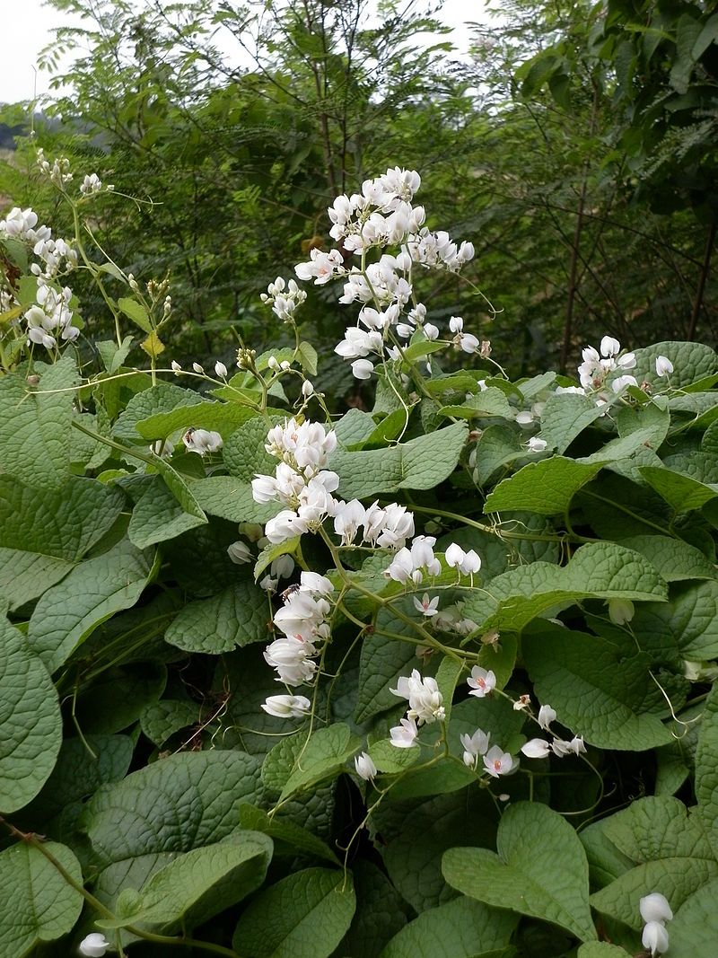 Antigonon Leptopus This Is A White Colored Flowering Variety Of