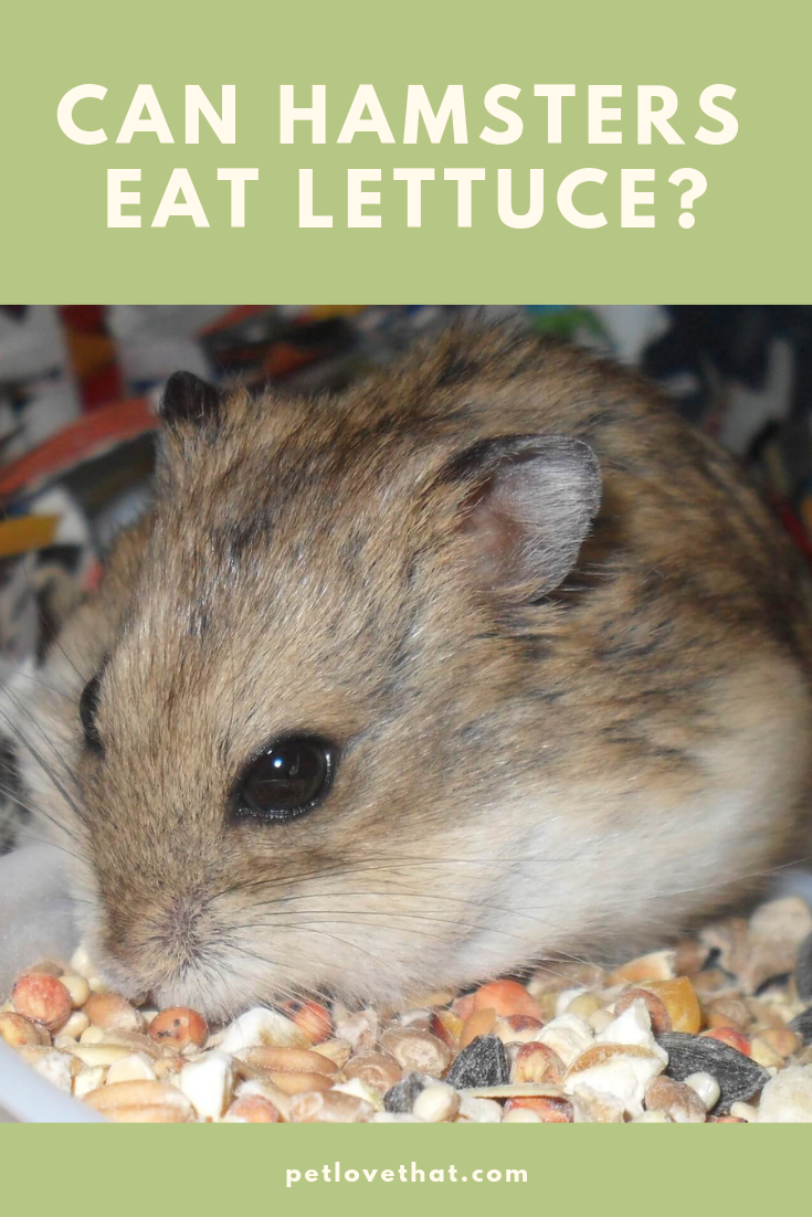Can Hamsters Eat Lettuce (With images) Hamster, Hamster