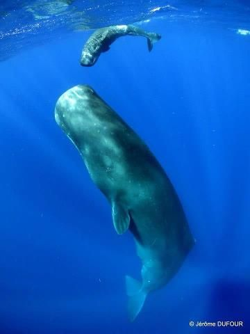 Was and Dauphin island sperm whale photo
