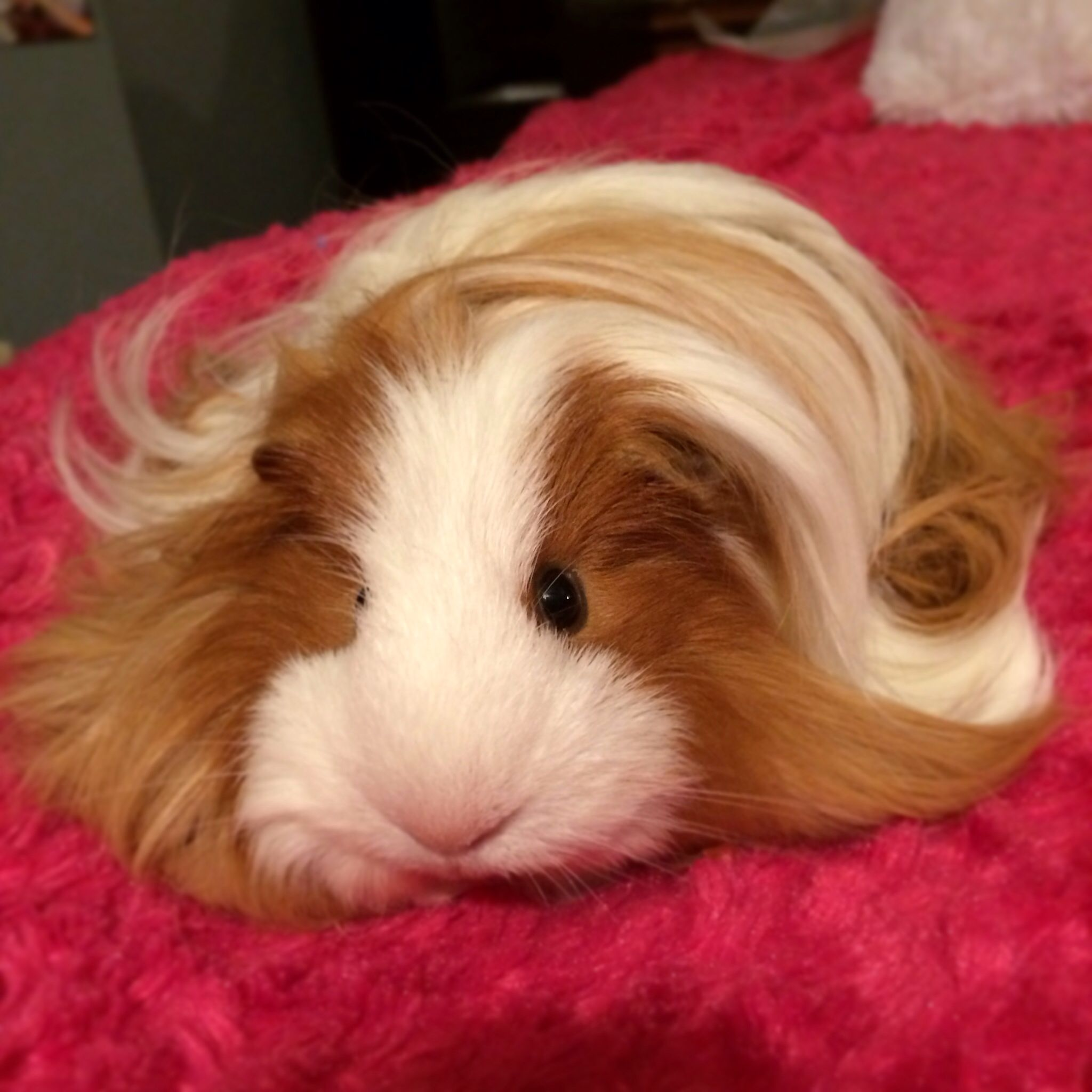 i need long haired guinea pigs in my life and eating my grass in