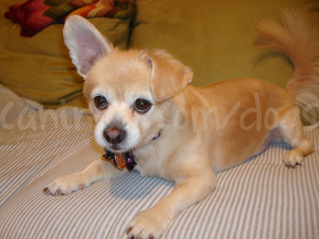 Cute Long Haired Chihuahua Small Dog Breed Haircut Grooming