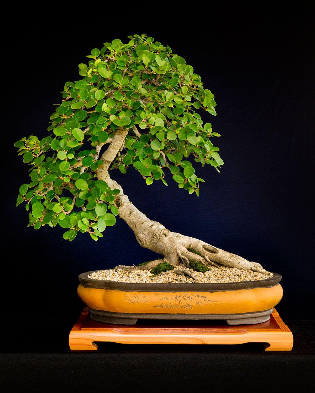 все, чем бонсай разновидности деревьев фото появляются