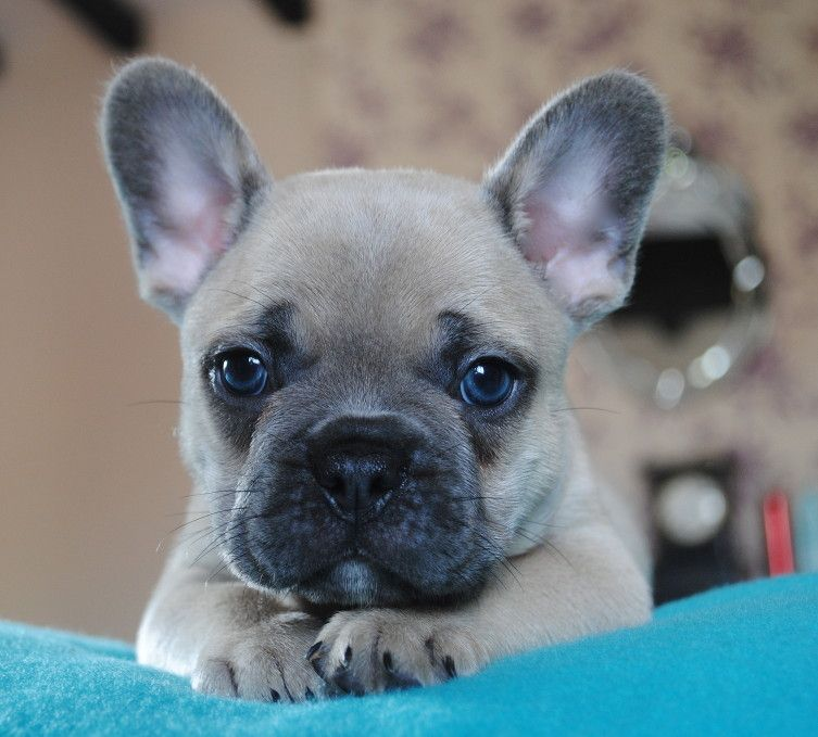 French Bulldog I Want One My Wish French Bulldog