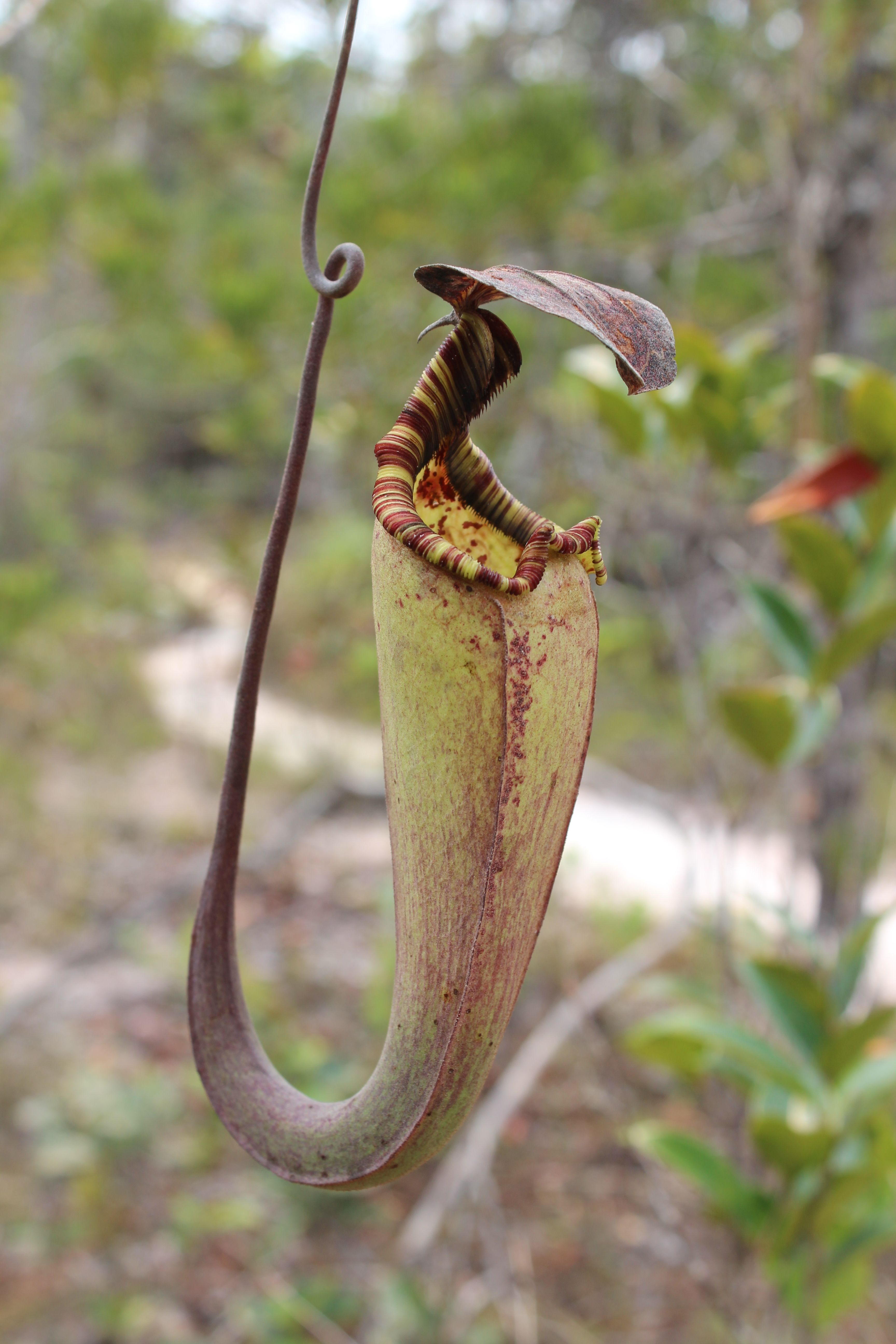 1000 Images About Carnivoras On Pinterest