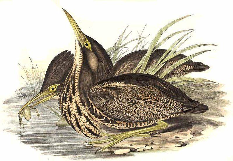 Avetoro Australasian - Botaurus poiciloptilus