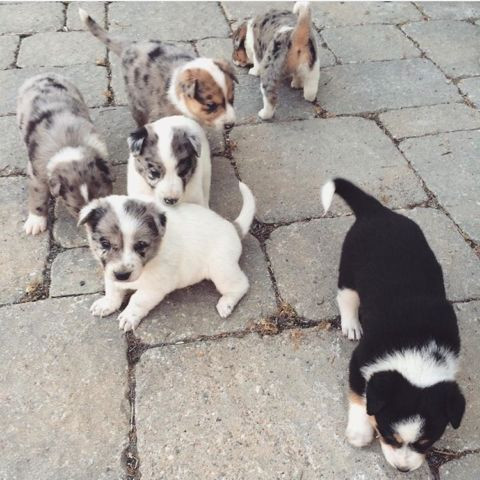 Australian Shepherd Border Collie Blue Heeler Puppies For Sale In