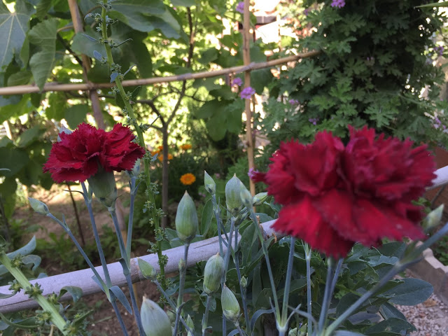 Home And Garden How To Grow Carnation Plant Carnation Plants Growing Carnations Plants