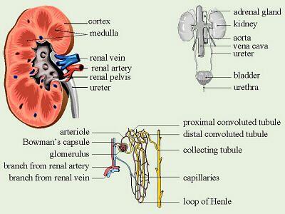 parts of the excretory system | urinary (excretory) system | pinterest, Cephalic Vein