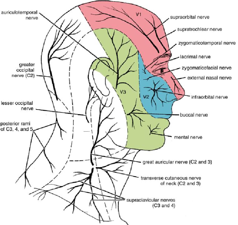 Brachial plexus  Wikipedia