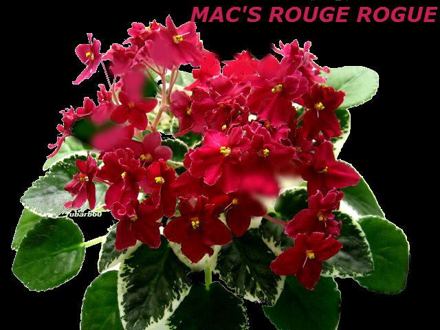 AFRICAN VIOLET PLANT MAC'S ROUGE ROGUE~BRIGHT RED BLOSSOMS ... on plants house plants, shade house plants, organic house plants, grass house plants, alpine house plants, greenhouse house plants, seasonal house plants, horticulture house plants, fast growing house plants, pruning house plants, fragrant house plants, hydrangea house plants, cutting house plants, sunflower house plants, rhizomes house plants, blue house plants, fruit house plants, forest house plants, shrub house plants, permanent house plants,