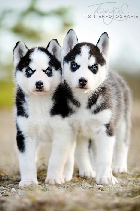 A Pair Of Siberian Husky Puppies Photo By Tanja Schneider On