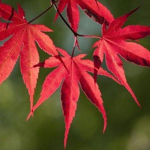 Japanese Maple Small Seeded Bonsai Tree Seeds Acer Palmatum 15 Seeds Maple Tree Tattoos Maple Tree Seeds Acer Palmatum