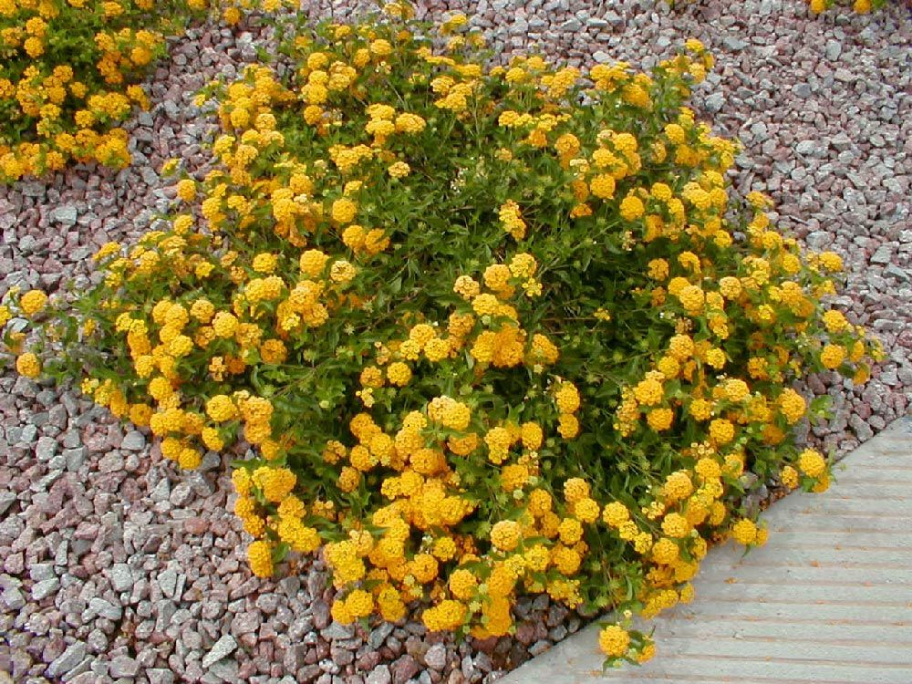 Bush lantana arizona so it was no surprise that her for Flowering landscape bushes