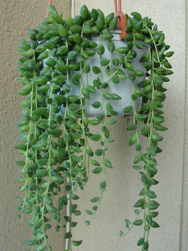 Senecio herreianus String of Beads is