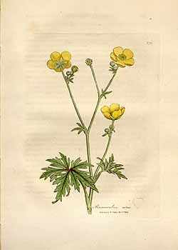 Buttercup Illustration Flower Drawing Botanical Drawings Buttercup Flower