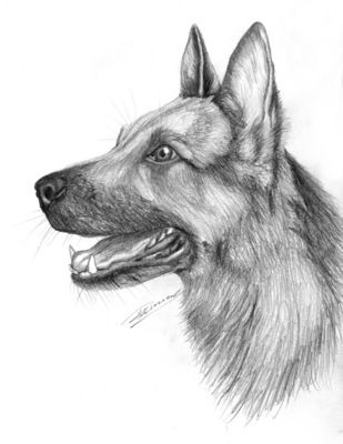 Pencil drawings of animals easy pencil drawings realistic drawings norwegian elkhound dog sketches animal portraits graphite sketching sketchbooks