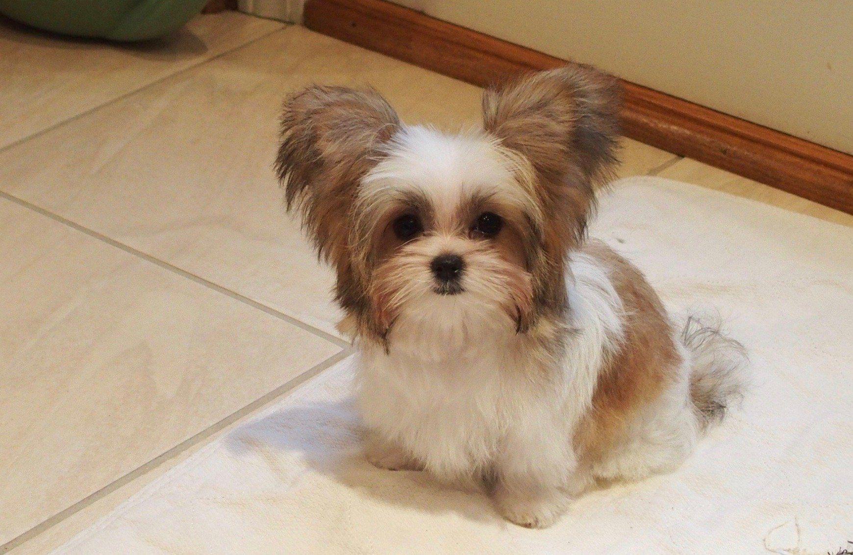 miki photos Google Search Miki dog, Dog breeders near