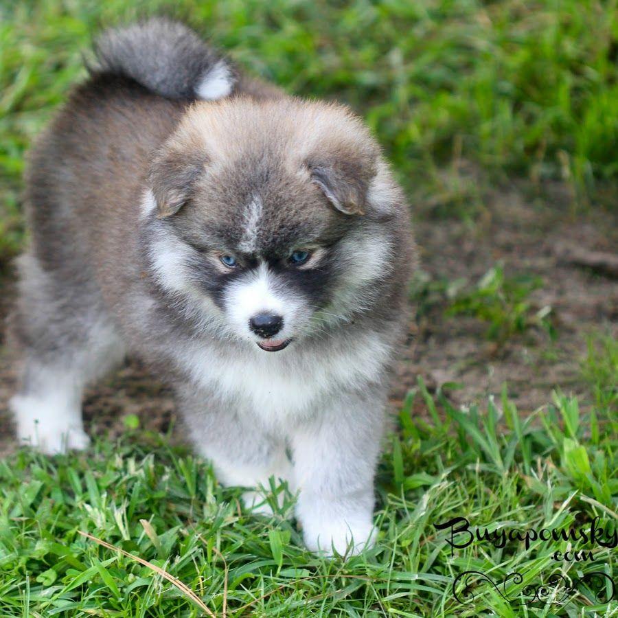 Pomsky Puppies Buyapomsky Youtube Pomsky Puppies Puppies Pomsky