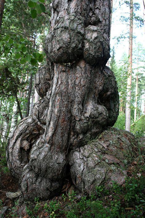 Mukuramanty (Pinus sylvestris f. gibberosa) on suomalaisten puiden yleisin erikoismuoto. Tämä puu on löydetty Savosta. https://irmako.files.wordpress.com/2008/11/muhkuramanty.jpg?w=840