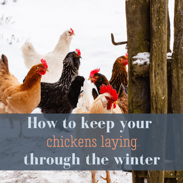 Keep Your Hens Laying In The Winter   Pampered Chicken ...