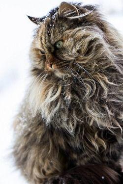 Furry snow cat.