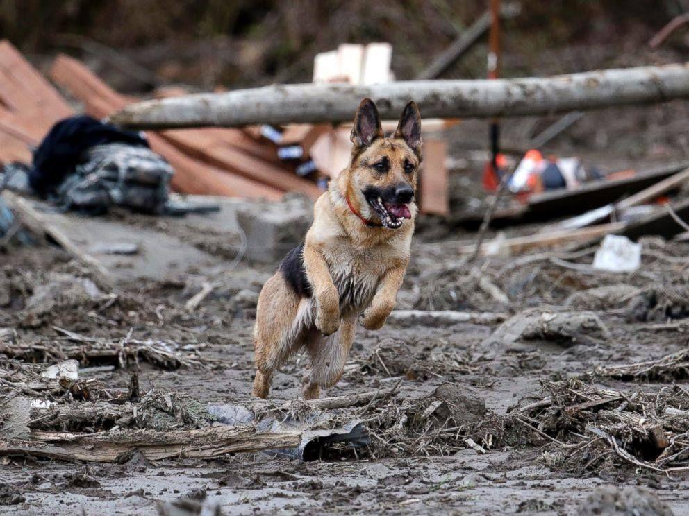 Another 4 Legged Hero Search Dog German Shepherd Stratus Leaps
