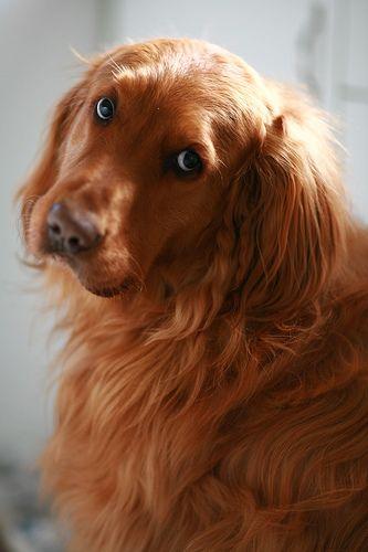 bloggautafotos - Golden Retriever - Golden Retriever( This is the face Lacy gives me when i'm petting her haha)