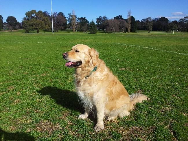 Christmas In Melbourne With Our Affectionate Golden Retriever