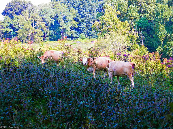 Grazing Cattle Color