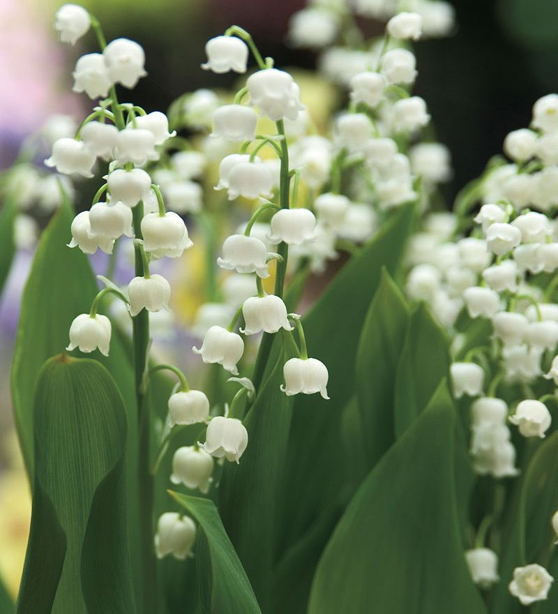 Convallaria Lily Of The Valley 12 Bulbs Lily Of The Valley Longfield Gardens Flowers