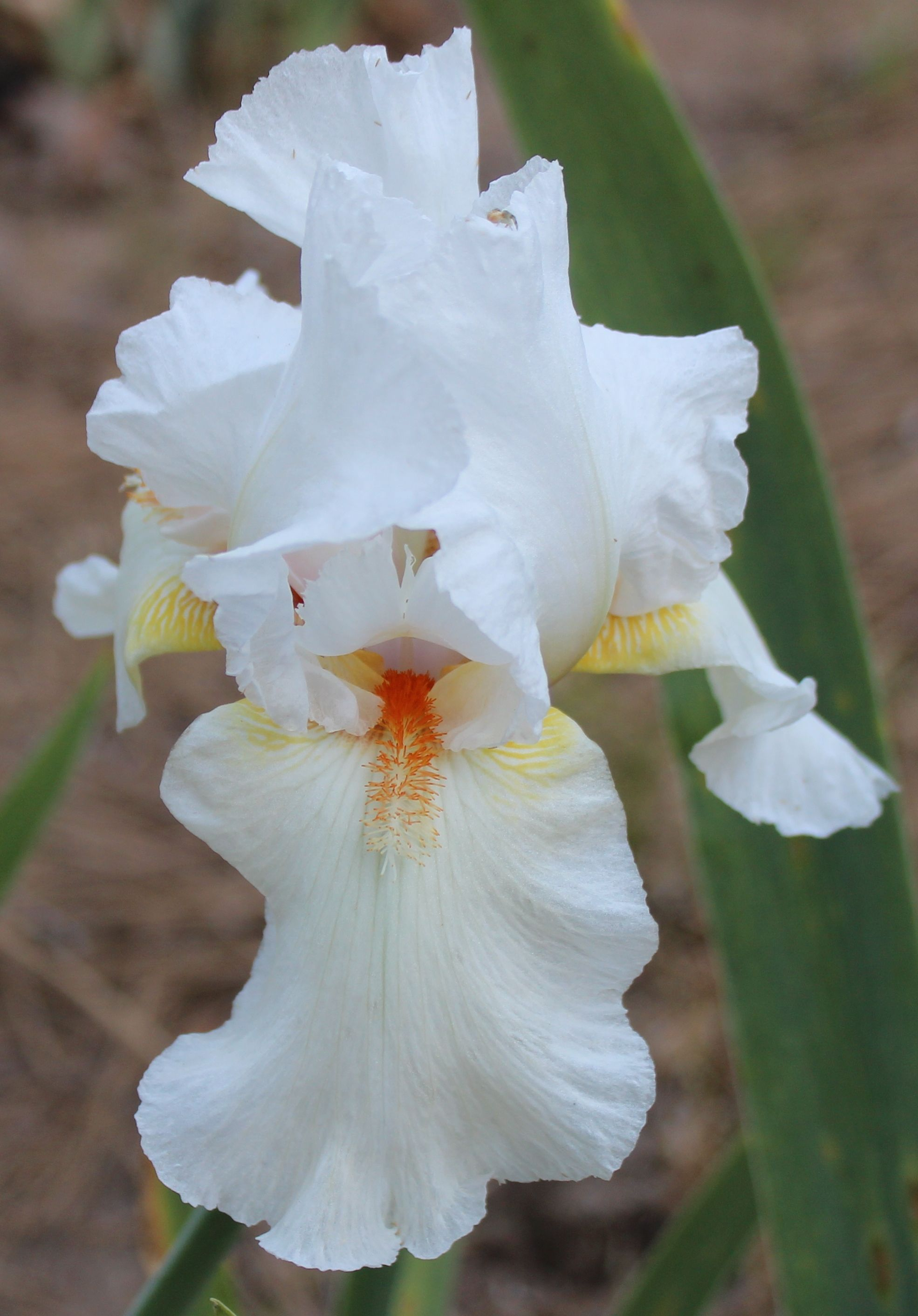 Tall Bearded Iris Cherry Jubilee With Images Iris Flowers Iris Garden Most Beautiful Flowers