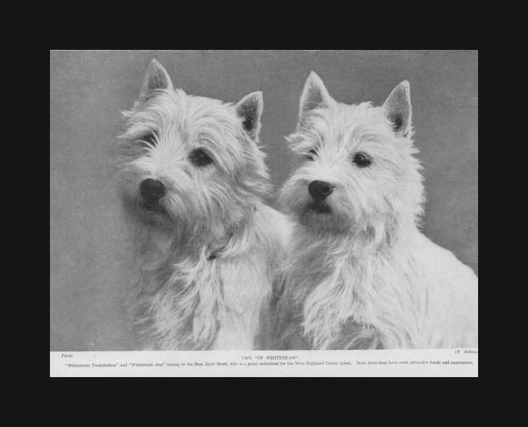 Westie West Highland Terriers Dogs Good Breed Examples Vintage Print 1935 Westie Dogs West Highland Terrier West Highland White Terrier