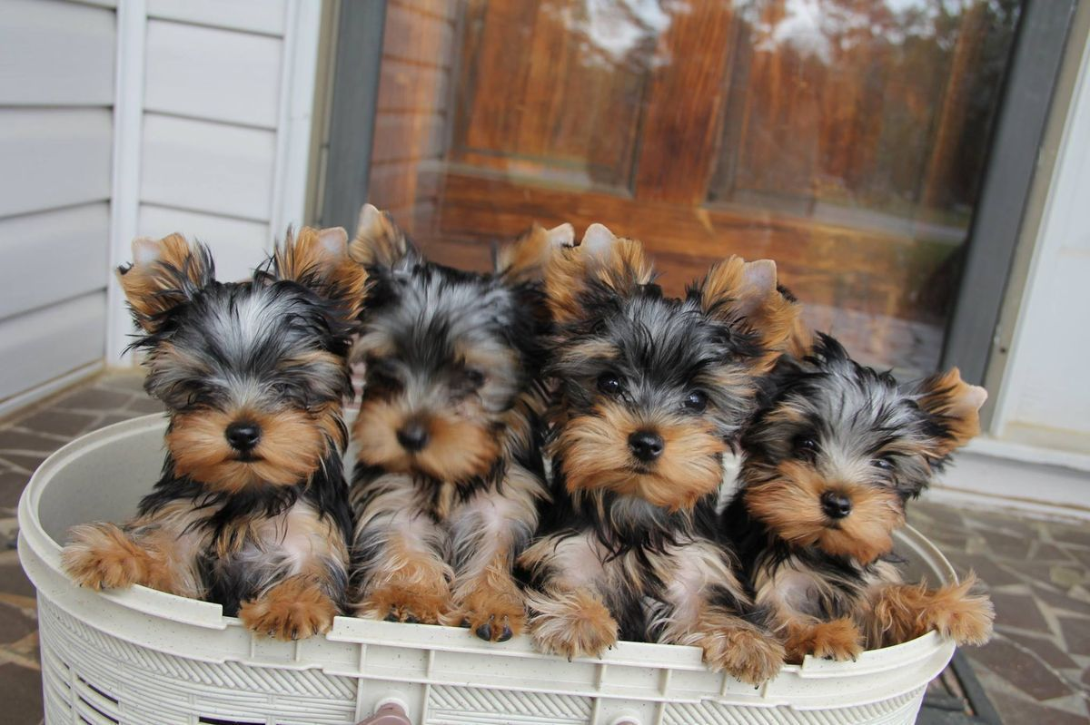 I want them all... Sooo adorable maltese Yorkshire