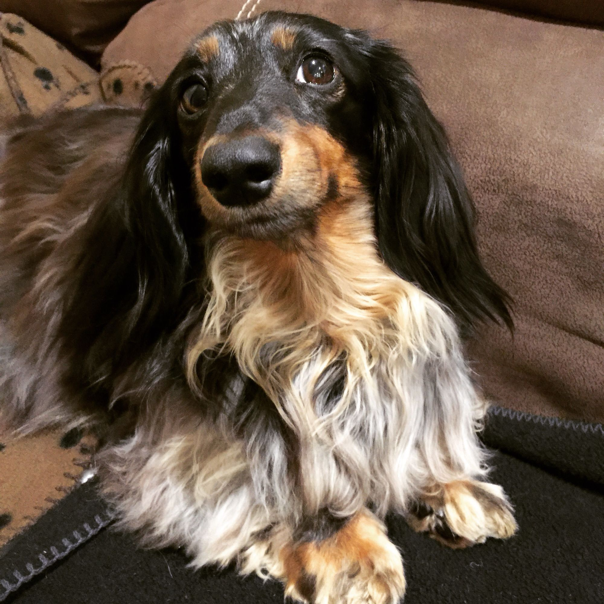 Long Haired Silver Dapple Dachshund Abby With Images