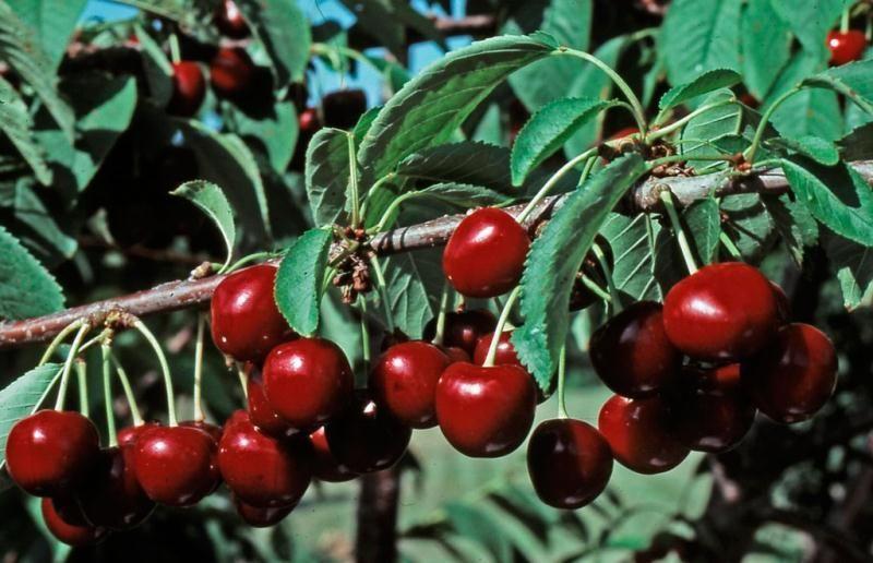 Stella Sweet Cherry From Stark Bro S Cherry Blossom Tree Sweet Cherries Fruit Bushes