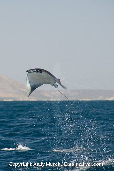 Munk's Devil Ray. These rays are famous for their acrobatic breaches in which one or more animals launch themselves into the air and spin or summersault apparently out of control before slapping back onto the surface. They are found in the eastern Pacific region from Baja California to Peru including the Galapagos Islands, Cocos Island and Malpelo.