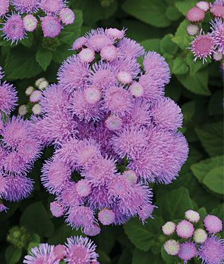 Blue Danube Ageratum Floss Flower Ageratum Houstonianum Annual Flowers Beautiful Flowers Wallpapers Beautiful Flowers Garden