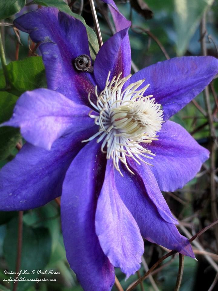 """Vivace :Clematis """"Jack Manii"""" in the June Garden ~ Our Fairfield Home and Garden   http://ourfairfieldhomeandgarden.com/june-garden-our-fairfield-home-garden/"""