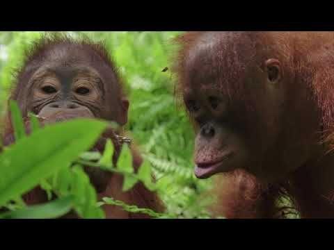 dating ape Zanzibar dating nettsteder