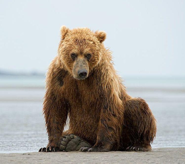 Xus Ursus Arctos Californicus California Grizzly Grizzly Bear Mom Bear Ursus