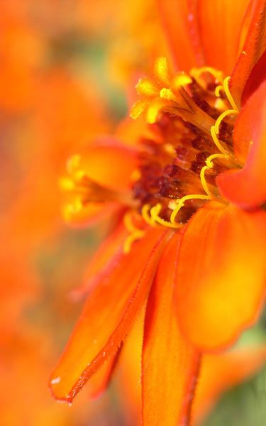 Beautifull Orange Flowers Wallpapers Download Beautiful Flowers