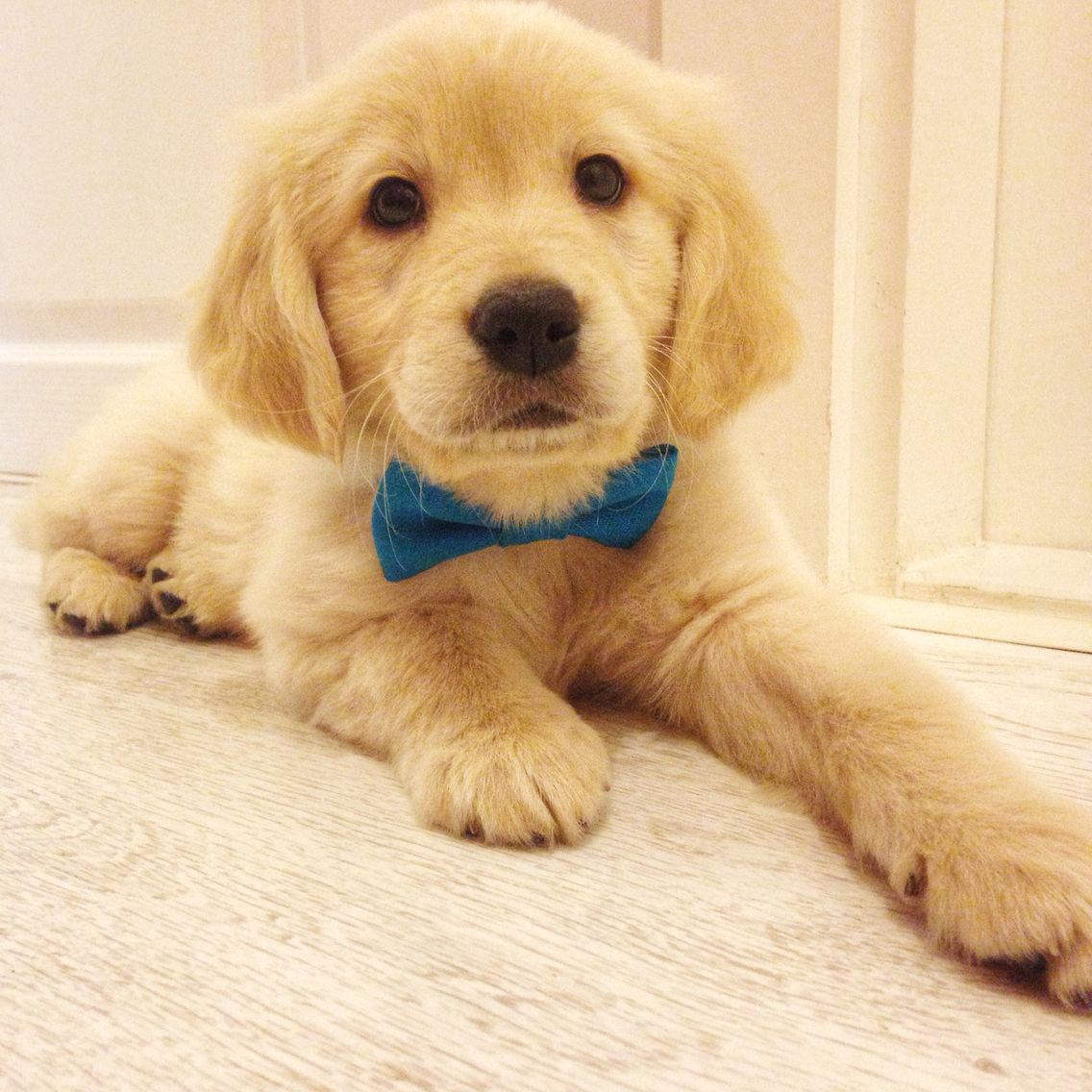 Otto The Golden Retriever With Bow Tie
